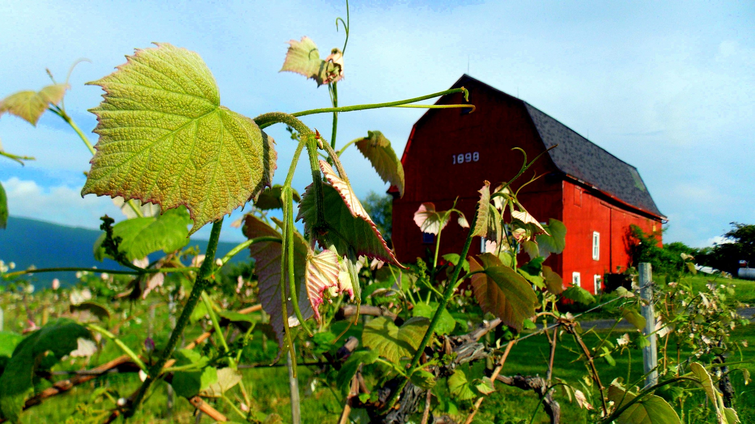 View of vines and rustic barn